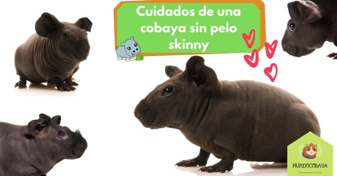 Cobaya sin pelo Skinny