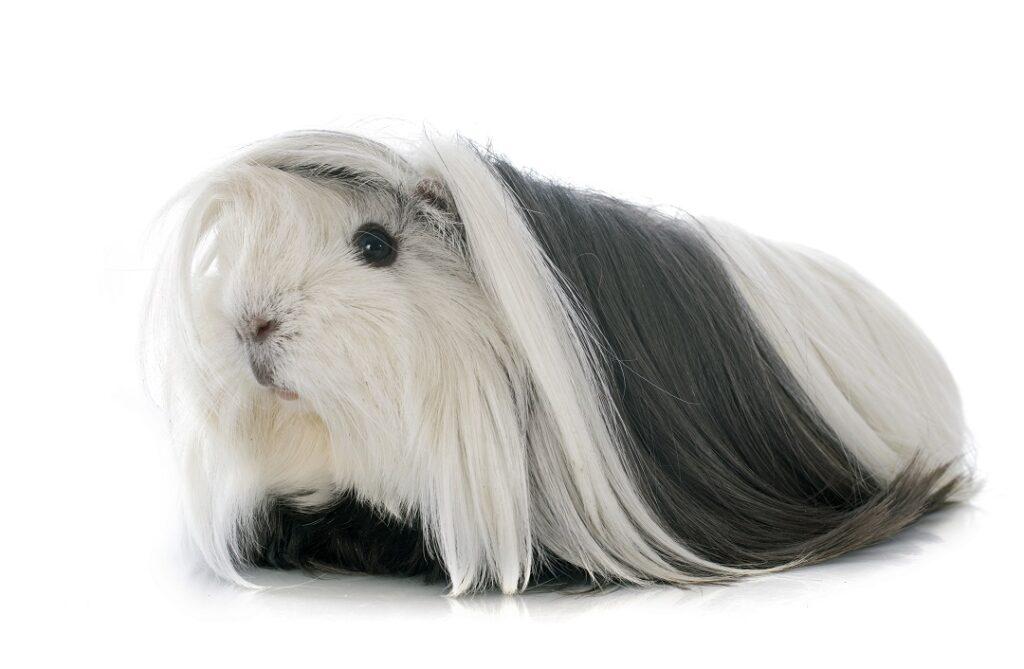 Cobaya de pelo largo Sheltie