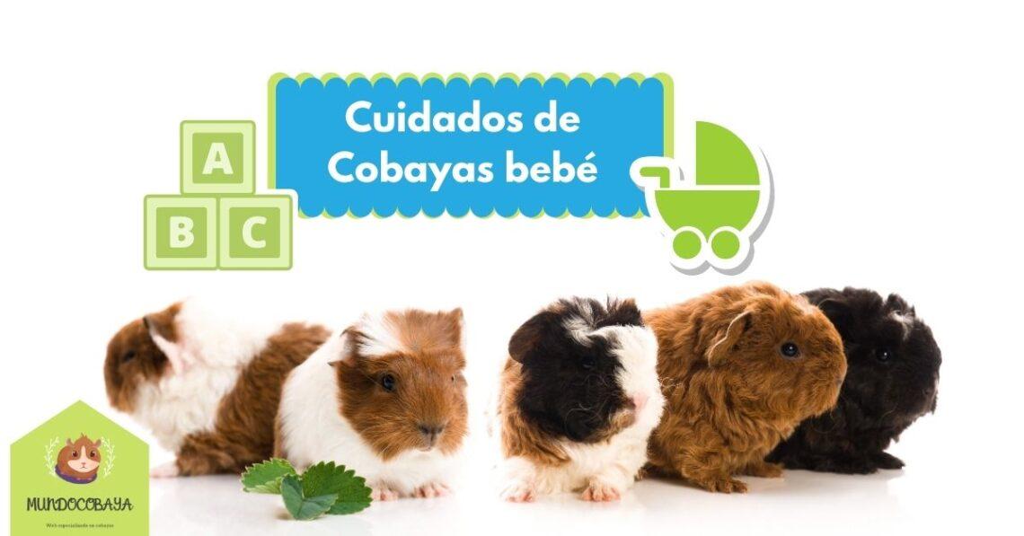 Cuidados de Cobayas bebé