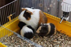 Cobayas bebés con la madre